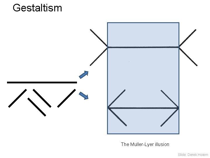 Gestaltism The Muller-Lyer illusion Slide: Derek Hoiem