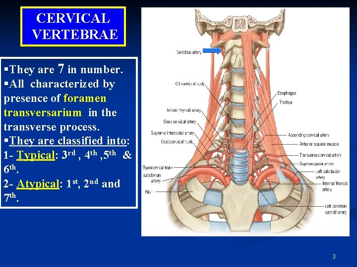 CERVICAL VERTEBRAE §They are 7 in number. §All characterized by presence of foramen transversarium