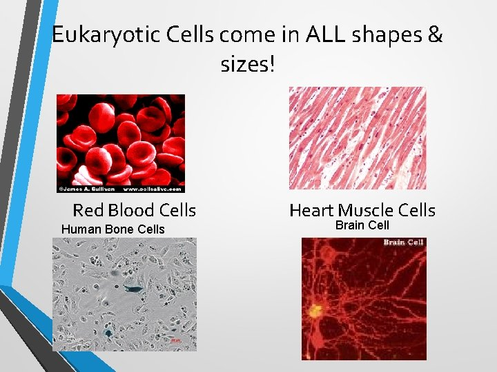 Eukaryotic Cells come in ALL shapes & sizes! Red Blood Cells Human Bone Cells