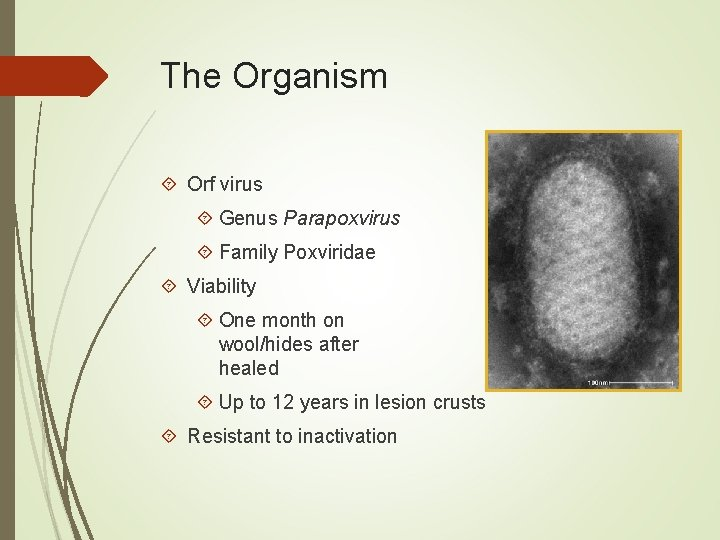 The Organism Orf virus Genus Parapoxvirus Family Poxviridae Viability One month on wool/hides after