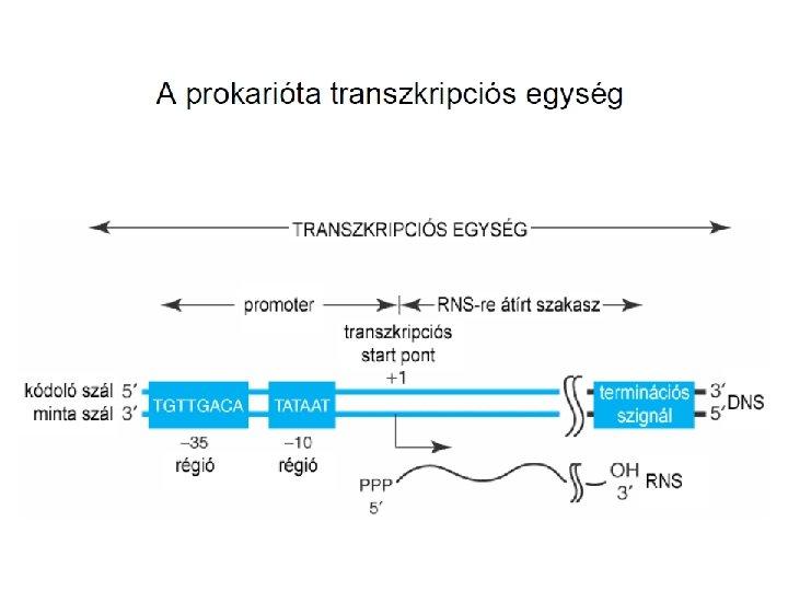 otthoni transzkripciós szövegek