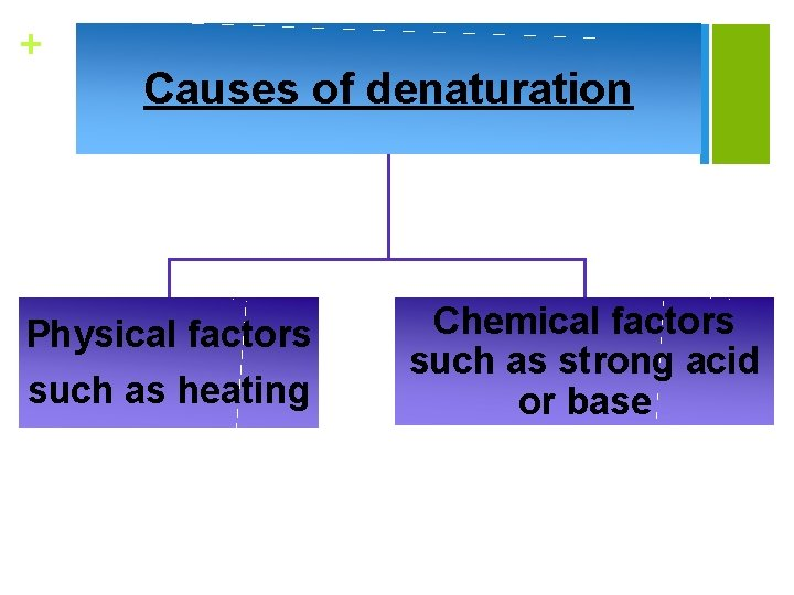 + Causes of denaturation Physical factors such as heating Chemical factors such as strong