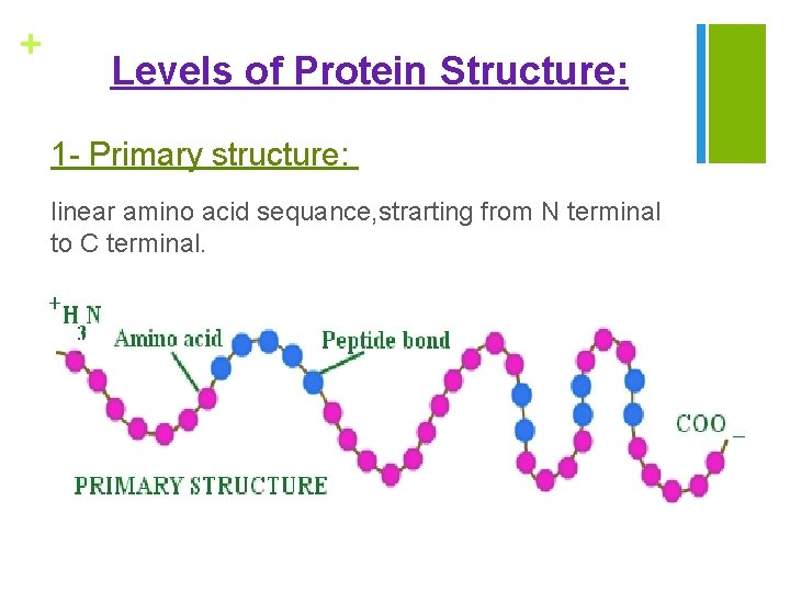 + Levels of Protein Structure: 1 - Primary structure: linear amino acid sequance, strarting
