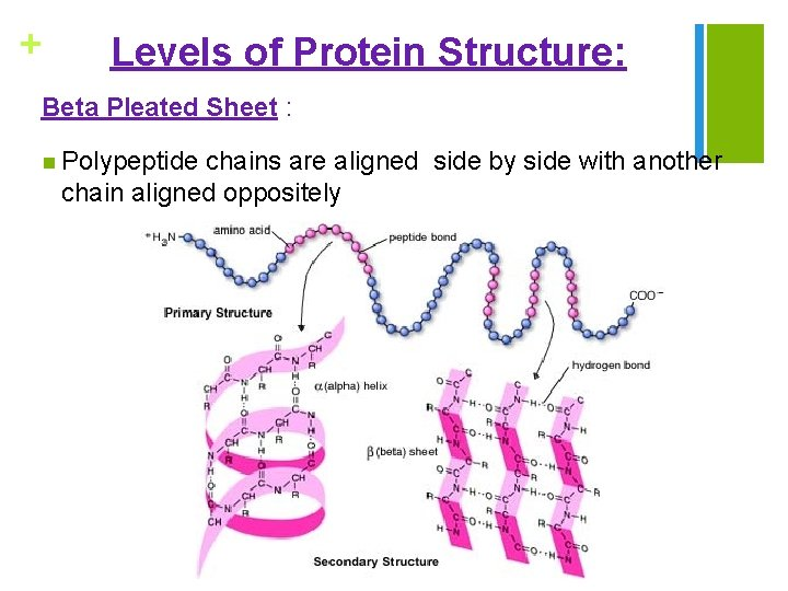+ Levels of Protein Structure: Beta Pleated Sheet : n Polypeptide chains are aligned