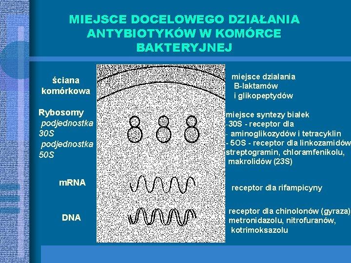 MIEJSCE DOCELOWEGO DZIAŁANIA ANTYBIOTYKÓW W KOMÓRCE BAKTERYJNEJ ściana komórkowa Rybosomy podjednostka 30 S podjednostka
