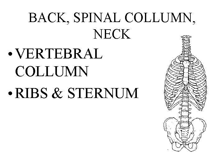 BACK, SPINAL COLLUMN, NECK • VERTEBRAL COLLUMN • RIBS & STERNUM