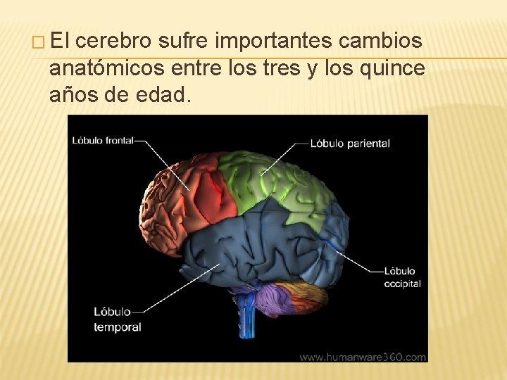 � El cerebro sufre importantes cambios anatómicos entre los tres y los quince años