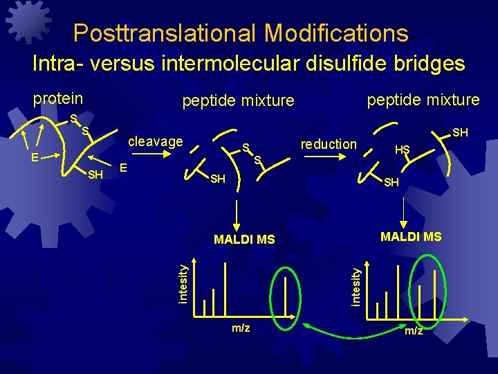 Posttranslational Modifications Intra- versus intermolecular disulfide bridges protein peptide mixture S SH reduction S