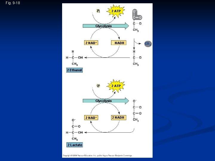 Fig. 9 -18 2 ADP + 2 Pi Glucose 2 ATP Glycolysis 2 Pyruvate