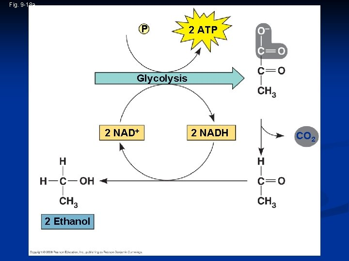 Fig. 9 -18 a 2 ADP + 2 P i Glucose 2 ATP Glycolysis