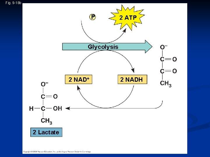 Fig. 9 -18 b 2 ADP + 2 P i Glucose 2 ATP Glycolysis
