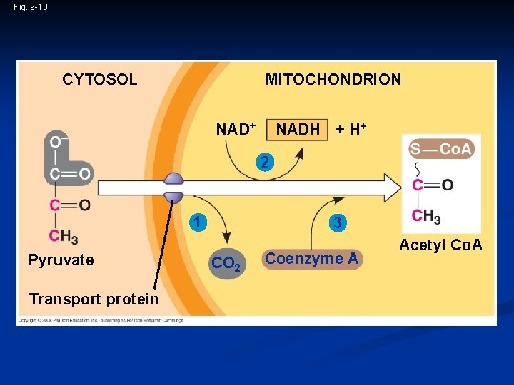 Fig. 9 -10 CYTOSOL MITOCHONDRION NAD+ NADH + H+ 2 1 Pyruvate Transport protein