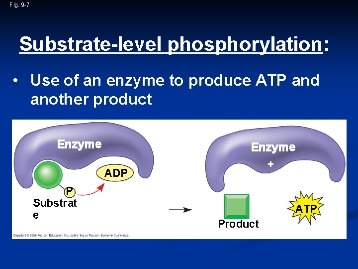 Fig. 9 -7 Substrate-level phosphorylation: • Use of an enzyme to produce ATP and