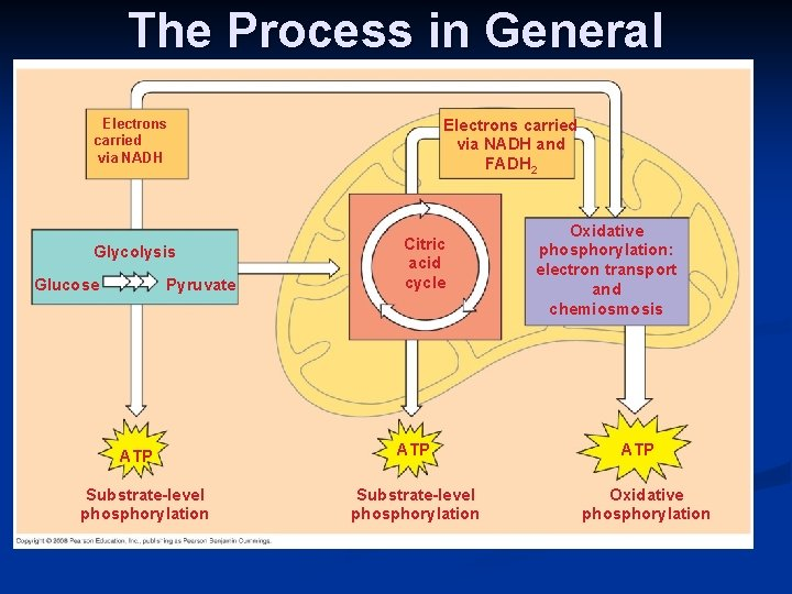 The Process in General Electrons carried via NADH and FADH 2 Electrons carried via