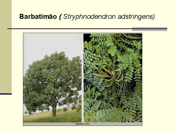 Barbatimão ( Stryphnodendron adstringens)
