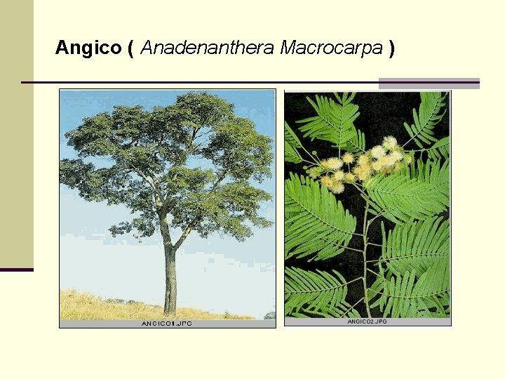 Angico ( Anadenanthera Macrocarpa )