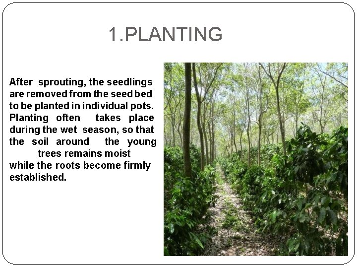 1. PLANTING After sprouting, the seedlings are removed from the seed bed to be