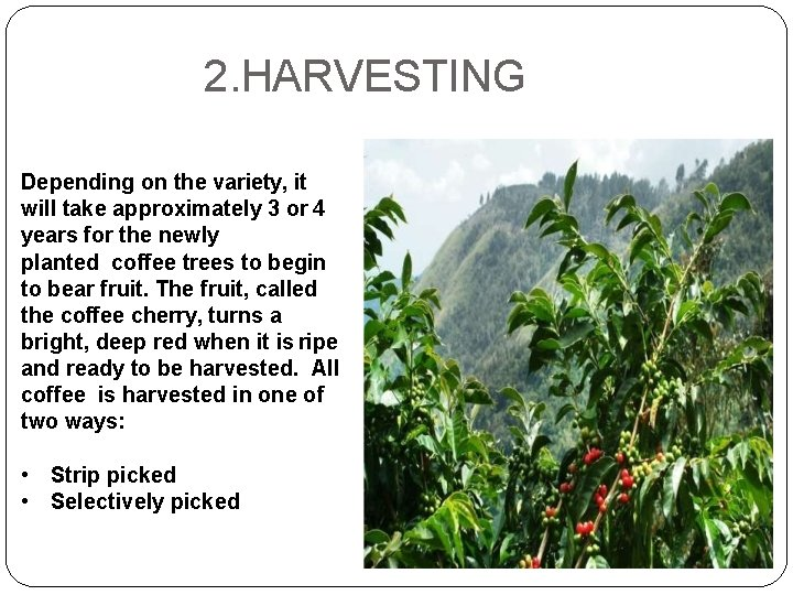2. HARVESTING Depending on the variety, it will take approximately 3 or 4 years
