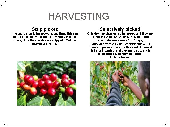 HARVESTING Strip picked Selectively picked the entire crop is harvested at one time. This