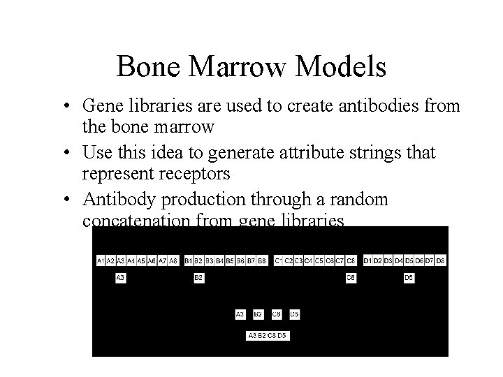 Bone Marrow Models • Gene libraries are used to create antibodies from the bone