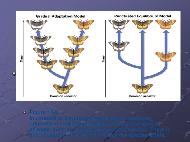 Figure 15 -9 In contrast to a more gradual model of evolution, punctuated