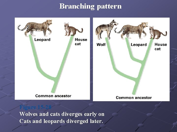 Branching pattern Figure 15 -28 Wolves and cats diverges early on Cats and