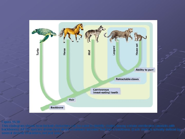 Figure 15 -30 This cladogram shows how derived characters can be used to