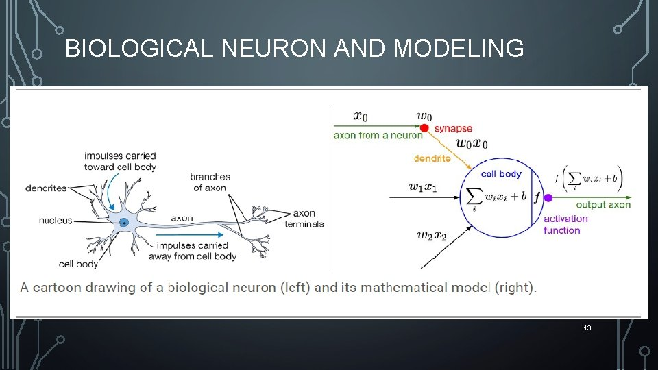 BIOLOGICAL NEURON AND MODELING 13