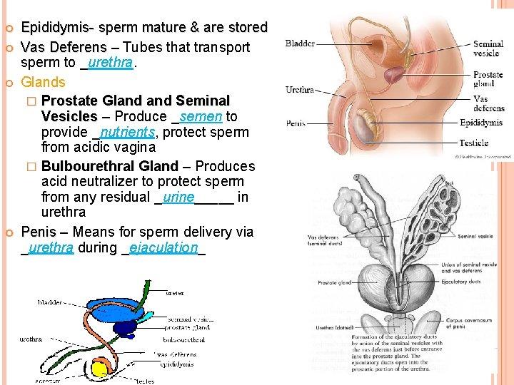 Epididymis- sperm mature & are stored Vas Deferens – Tubes that transport Vas