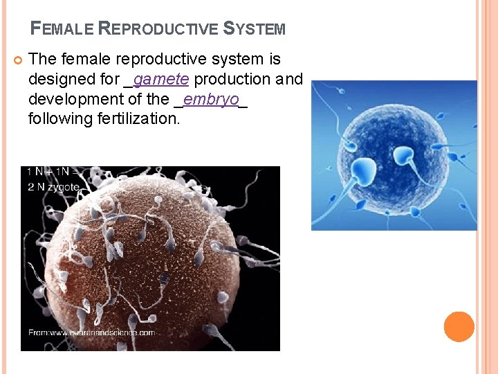 FEMALE REPRODUCTIVE SYSTEM The female reproductive system is designed for _gamete production and development