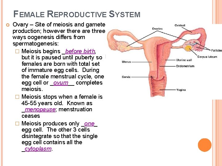 FEMALE REPRODUCTIVE SYSTEM Ovary – Site of meiosis and gamete Ovary production; however there