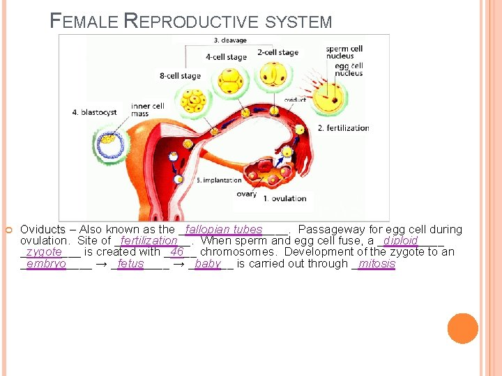 FEMALE REPRODUCTIVE SYSTEM Oviducts – Also known as the _fallopian tubes____. Passageway for egg