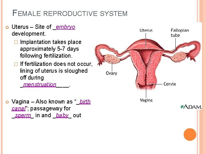 FEMALE REPRODUCTIVE SYSTEM Uterus – Site of _embryo Uterus development. � Implantation takes place