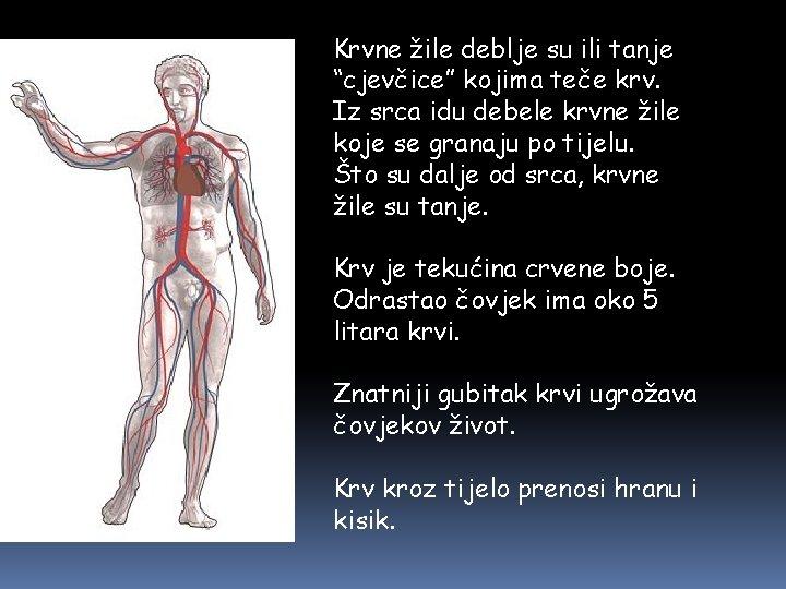 """Krvne žile deblje su ili tanje """"cjevčice"""" kojima teče krv. Iz srca idu debele"""