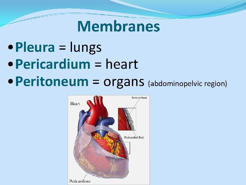 Membranes • Pleura = lungs • Pericardium = heart • Peritoneum = organs (abdominopelvic
