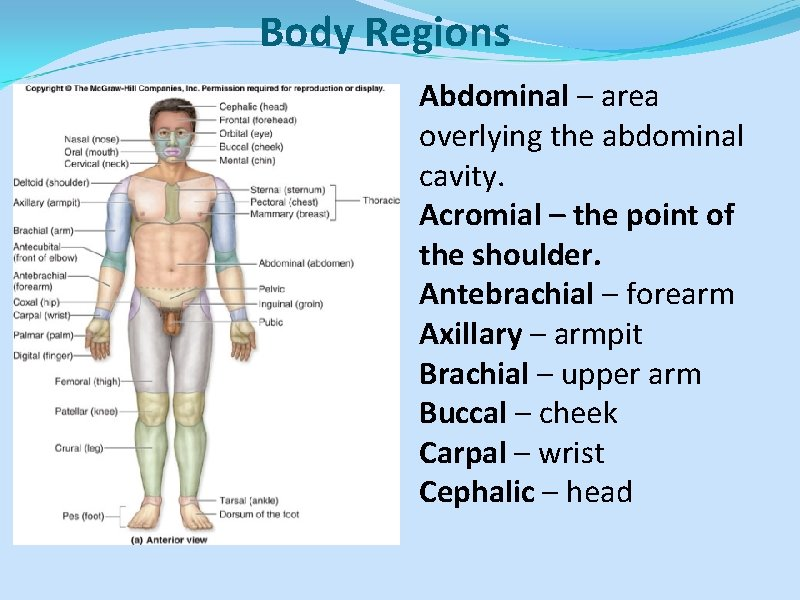 Body Regions Abdominal – area overlying the abdominal cavity. Acromial – the point of