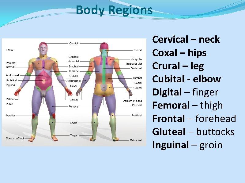 Body Regions Cervical – neck Coxal – hips Crural – leg Cubital - elbow