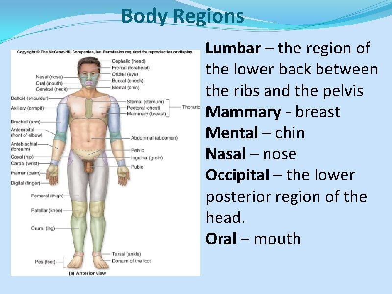 Body Regions Lumbar – the region of the lower back between the ribs and