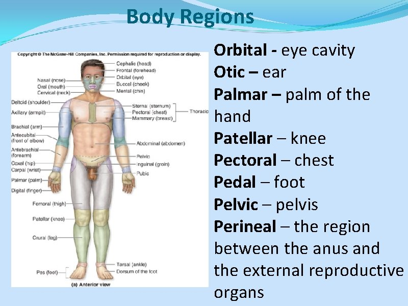 Body Regions Orbital - eye cavity Otic – ear Palmar – palm of the