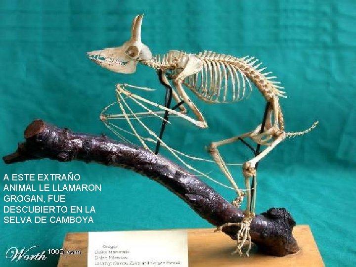 A ESTE EXTRAÑO ANIMAL LE LLAMARON GROGAN, FUE DESCUBIERTO EN LA SELVA DE CAMBOYA
