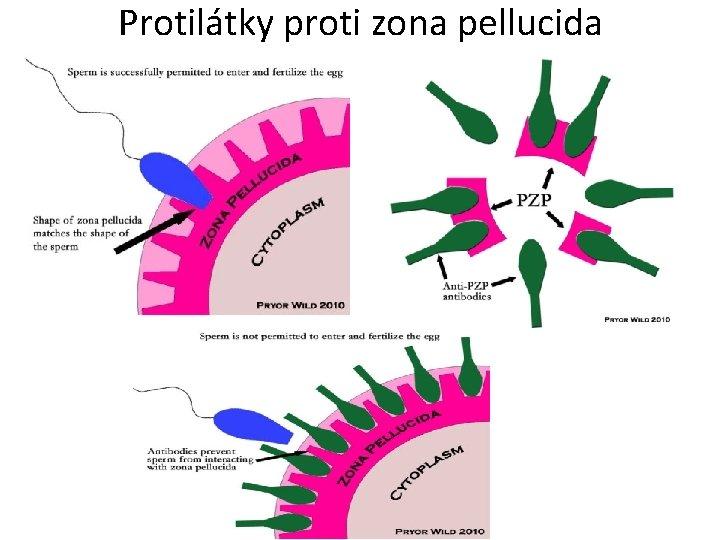 Protilátky proti zona pellucida