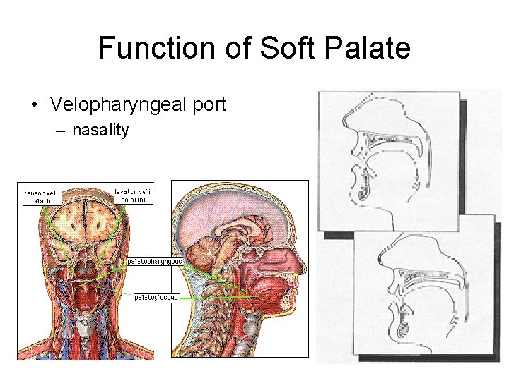 Function of Soft Palate • Velopharyngeal port – nasality