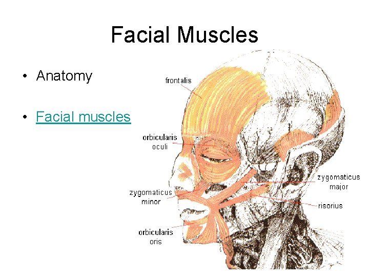 Facial Muscles • Anatomy • Facial muscles