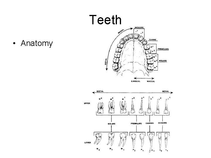 Teeth • Anatomy