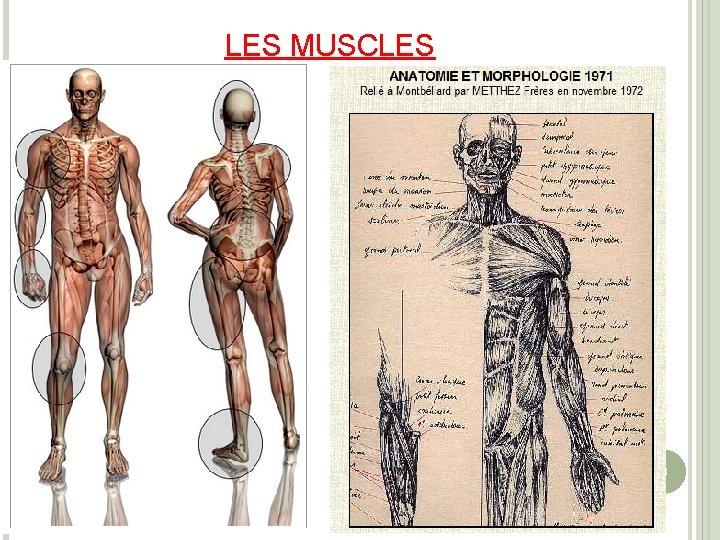 LES MUSCLES 3