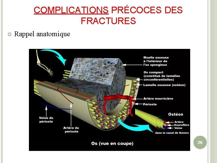 COMPLICATIONS PRÉCOCES DES FRACTURES Rappel anatomique 36