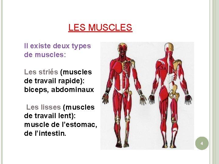 LES MUSCLES Il existe deux types de muscles: Les striés (muscles de travail rapide):