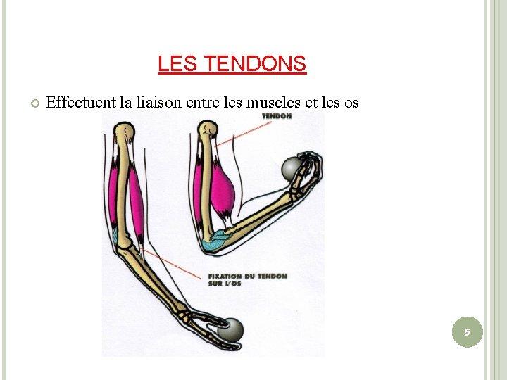 LES TENDONS Effectuent la liaison entre les muscles et les os 5