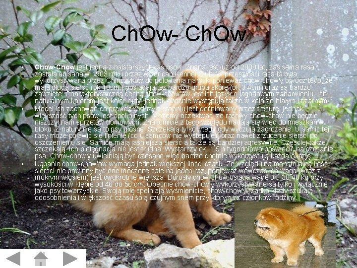 Ch. Ow- Ch. Ow • • • Chow-Chow jest jedną z najstarszych ras psów.