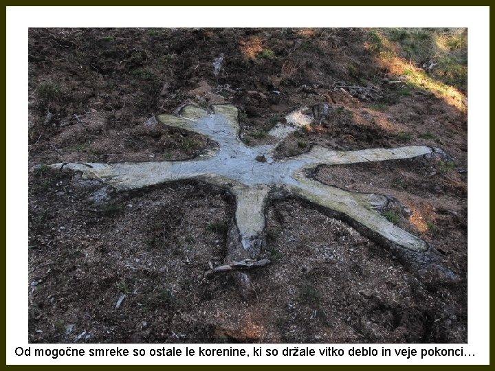 Od mogočne smreke so ostale le korenine, ki so držale vitko deblo in veje